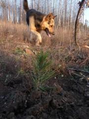 Залесяване в Сливница - резултати след 7 месеца